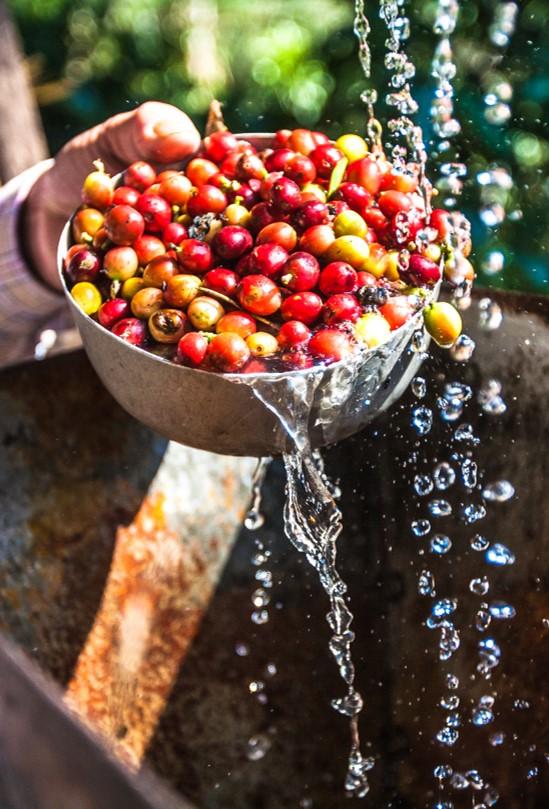 """""""מאחורי כל כוס קפה עומדת חקלאית שהשקיעה את הלב"""""""
